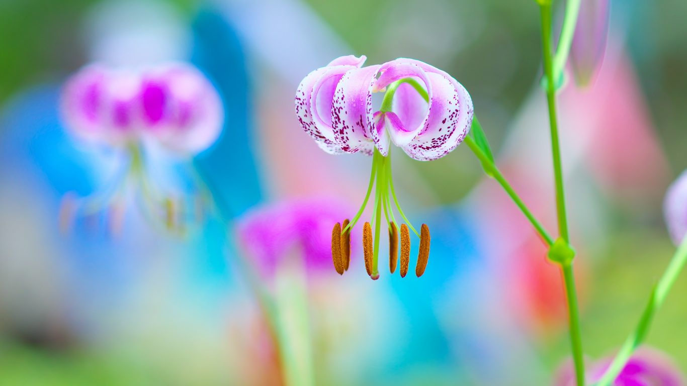 Siberian Fawn Lily , HD Wallpaper & Backgrounds