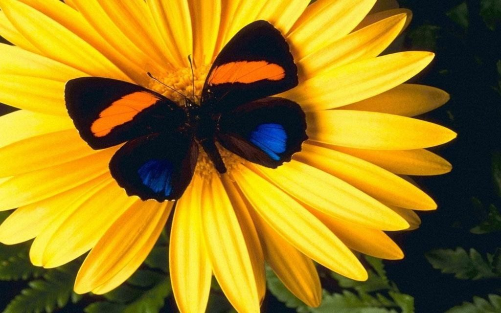 Lovely Yellow Flower With Colorful Butterfly Hd Wallpapers - Butterfly Sitting On A Flower , HD Wallpaper & Backgrounds