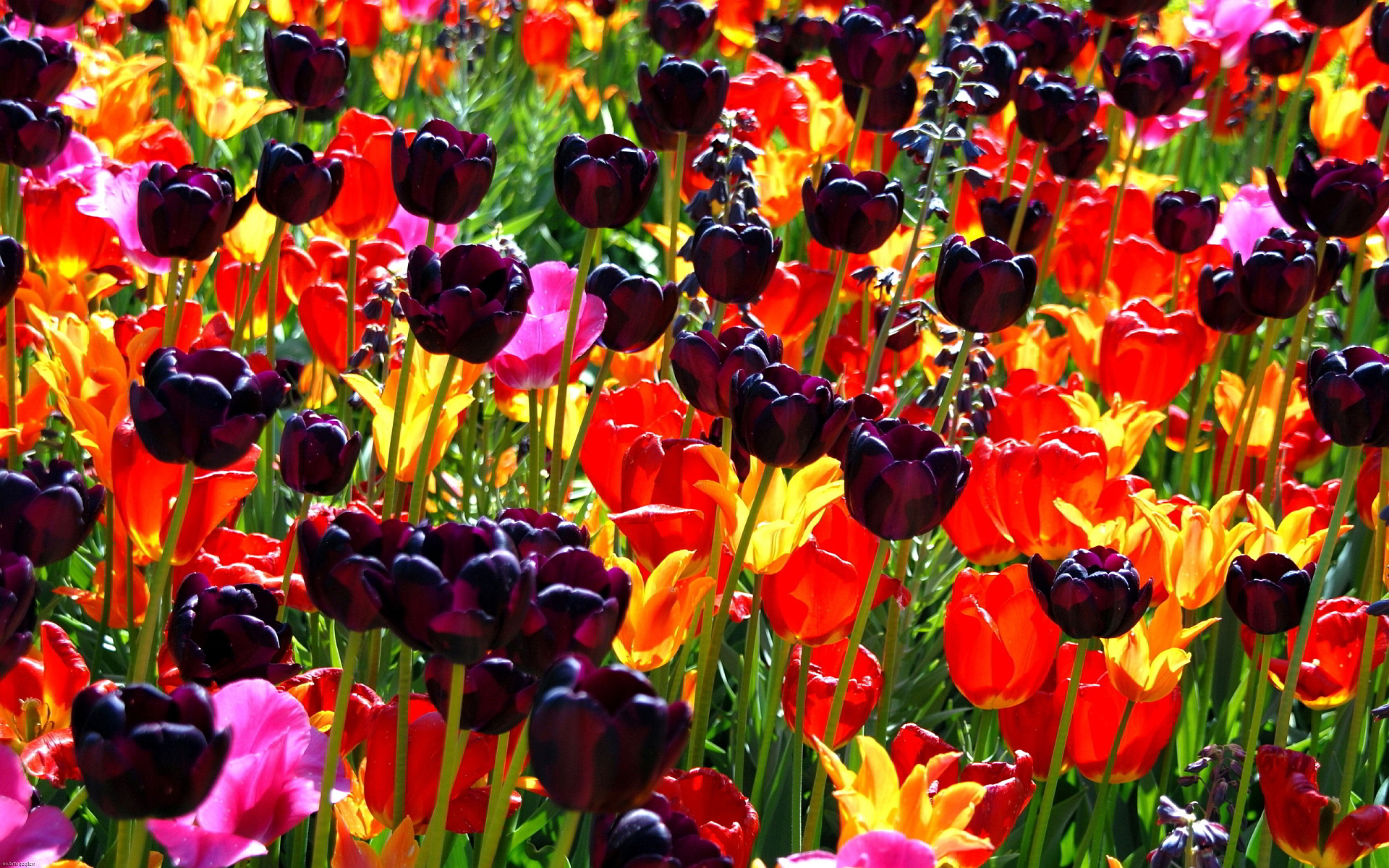 On The Desktop Photo, Colorful Flowers Background, - Colorful Flowers Field , HD Wallpaper & Backgrounds