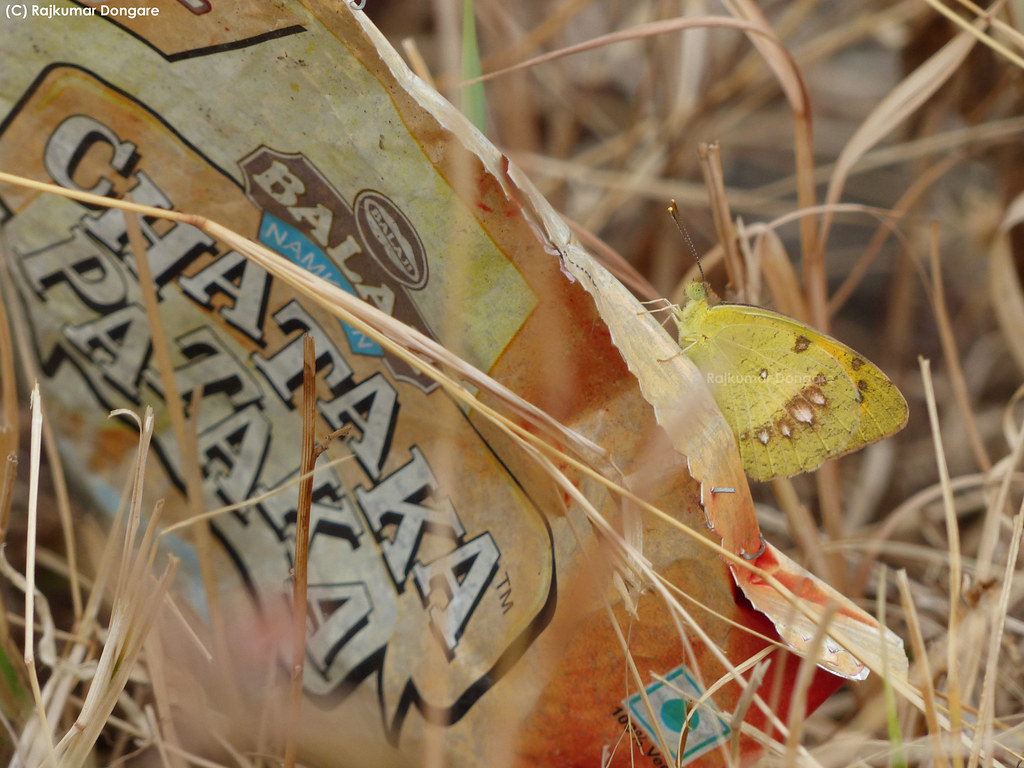Rajkumardongare White Orange-tip - Brush-footed Butterfly , HD Wallpaper & Backgrounds