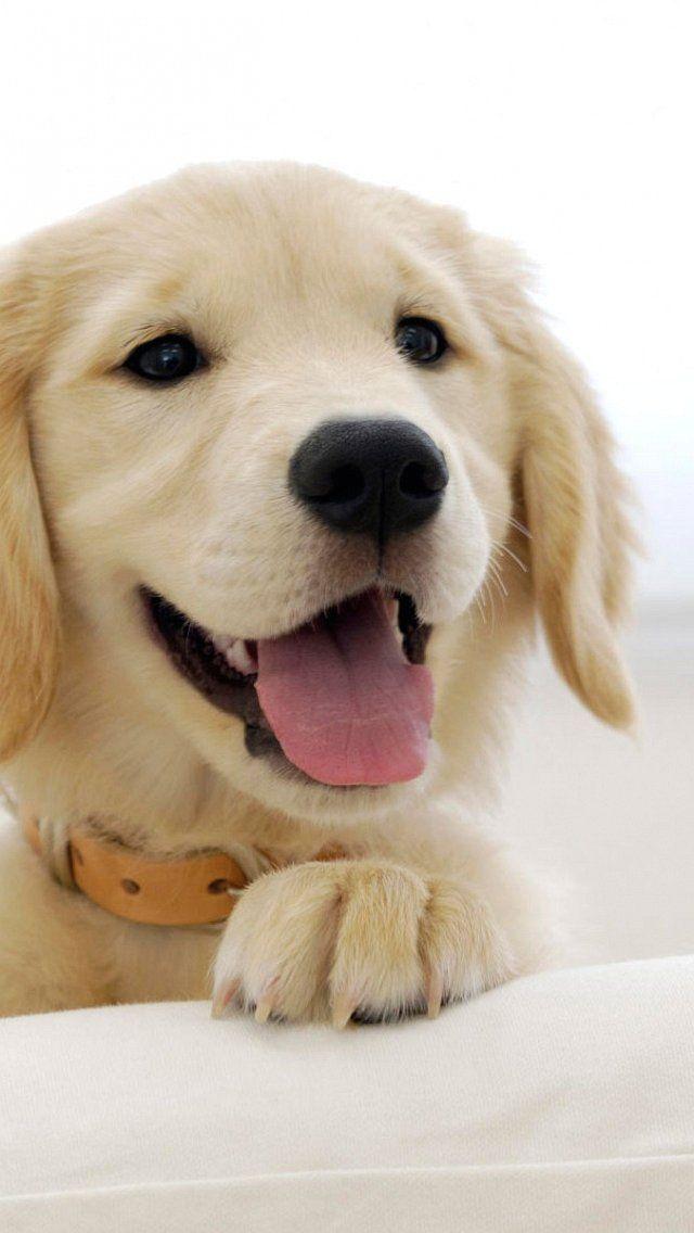 Cute Labrador Puppy Wallpaper Iphone 869832 Hd Wallpaper Backgrounds Download