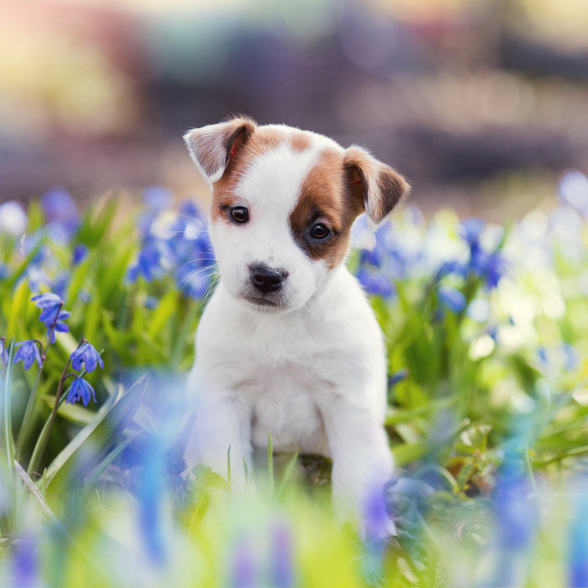 Cute Jack Russell Terrier Puppy 869857 Hd Wallpaper Backgrounds Download