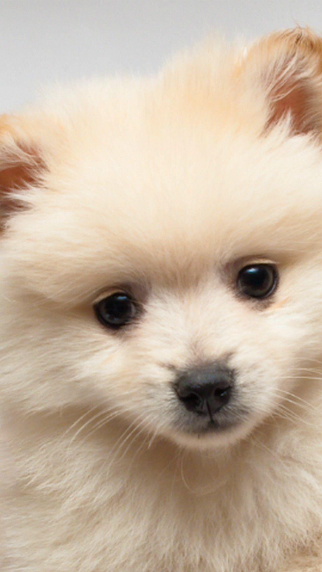 Iphone Wallpaper Cute Puppies Pictures Dog Wallpapers White Teacup Cute Pomeranian 870744 Hd Wallpaper Backgrounds Download