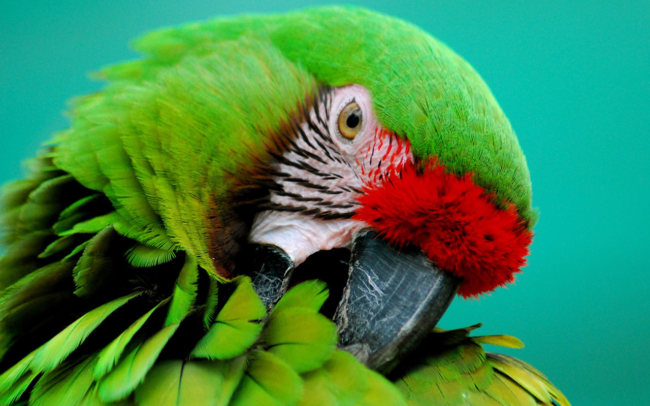 Parrots Large Size Close Up Wall 13 Wallpapers Parrot