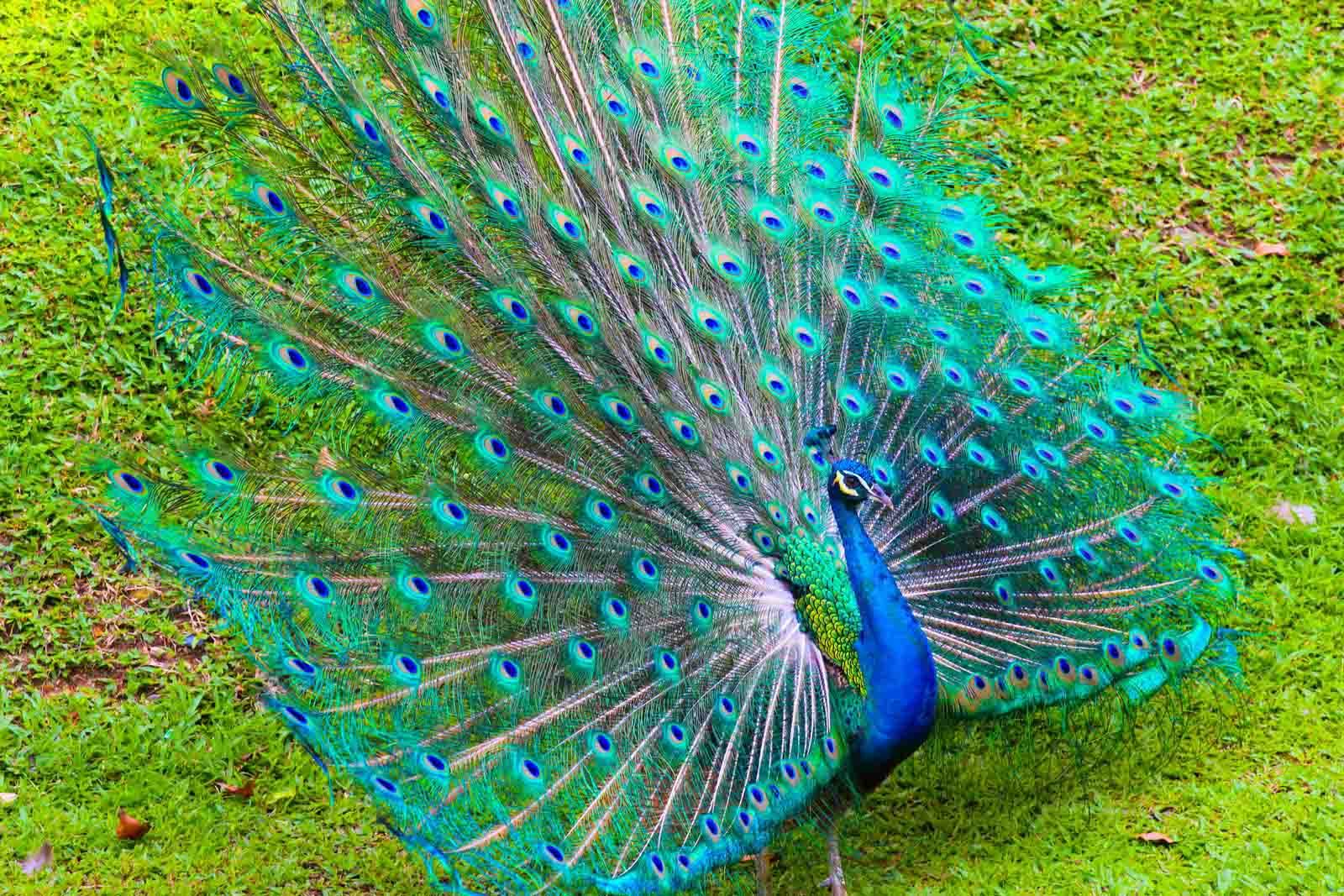 Beautiful Peacock Background Hd Wallpaper Peacock Tail, - Beautiful Peacock , HD Wallpaper & Backgrounds