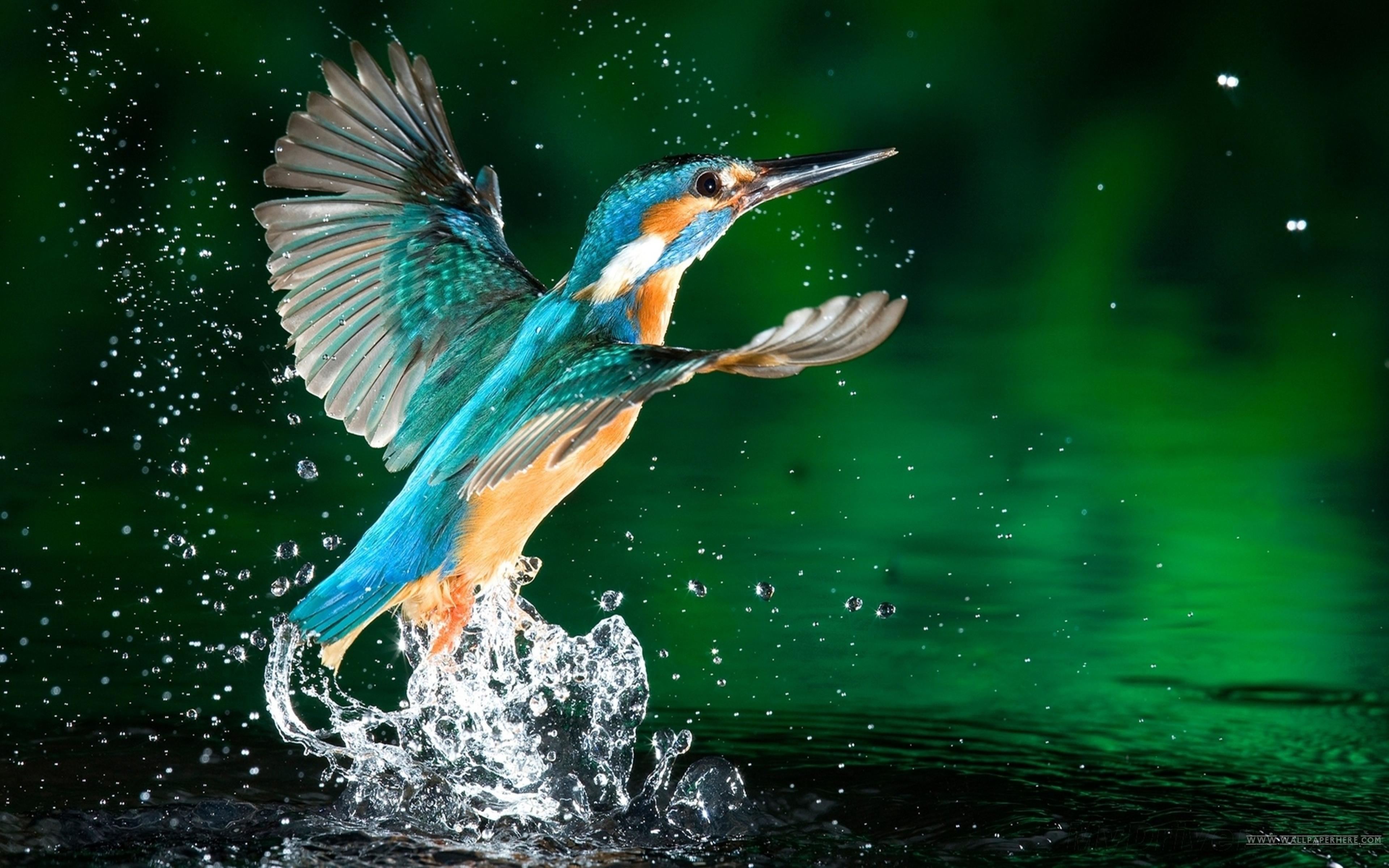 Download Original Resolution - Bird Flying From Water , HD Wallpaper & Backgrounds