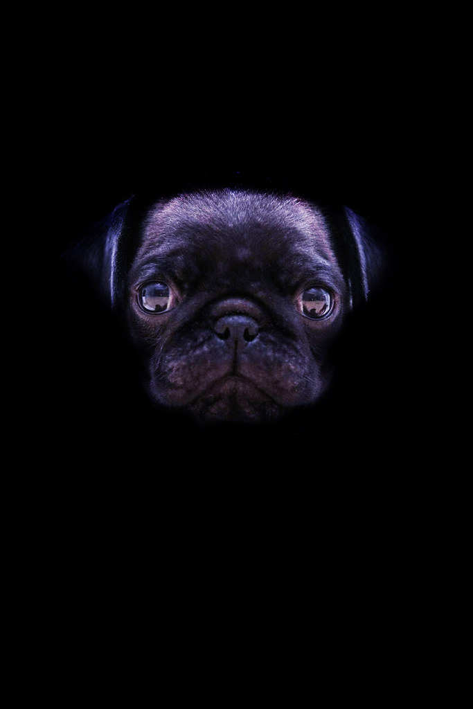 Black Pug Wallpaper Pug With Black Background 92258