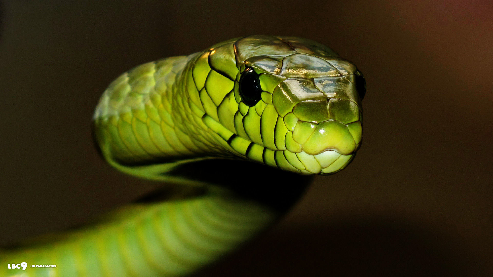 Black Mamba Green Snakes 97901 Hd Wallpaper Backgrounds Download