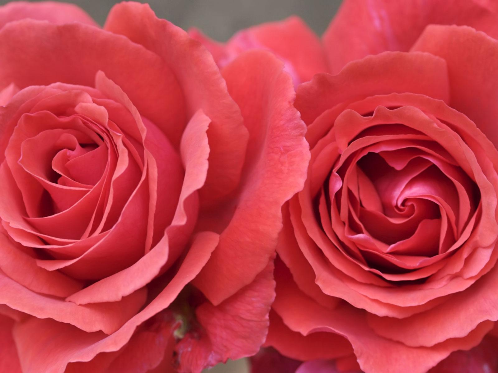 Top Desktop Roses Wallpapers Hd Rose Wallpaper 25 Zoom - Best Rose Wall Paper , HD Wallpaper & Backgrounds