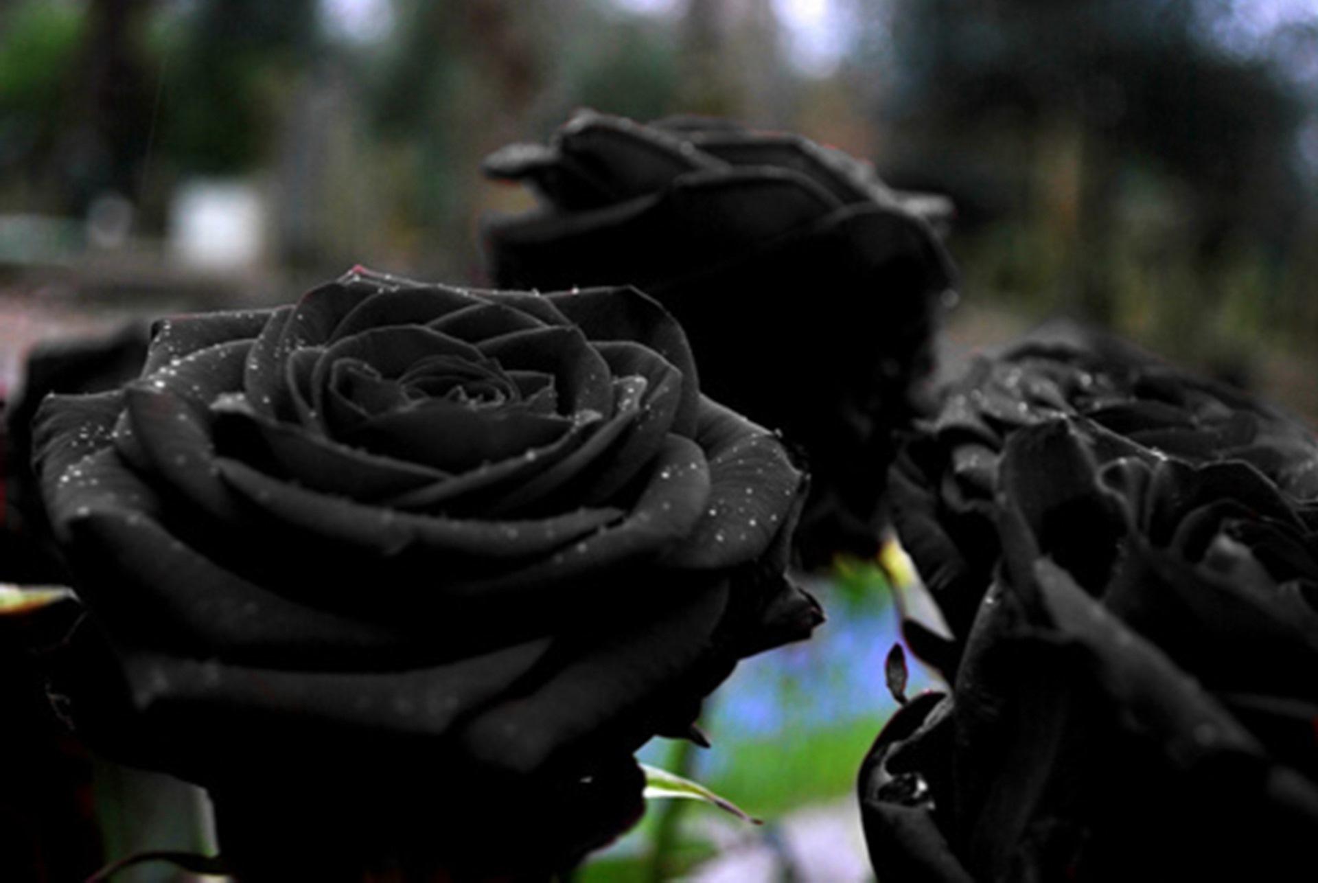 Black Rose Wallpaper Hd Black Rose 906653 Hd Wallpaper Backgrounds Download