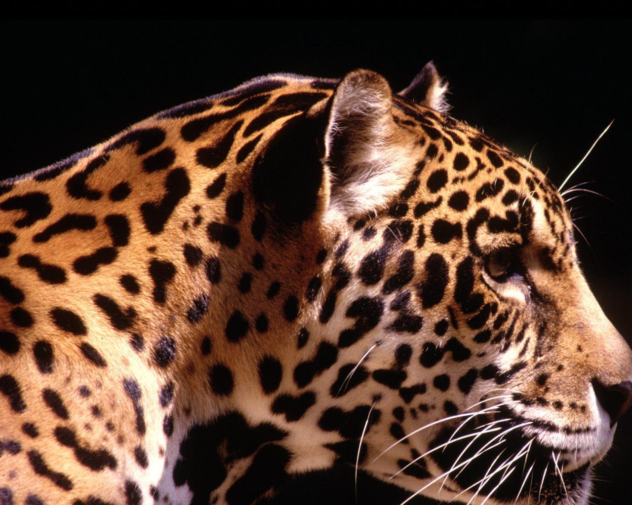 Leopard Profile Wallpaper Jaguar Animal Black Background 927706 Hd Wallpaper Backgrounds Download