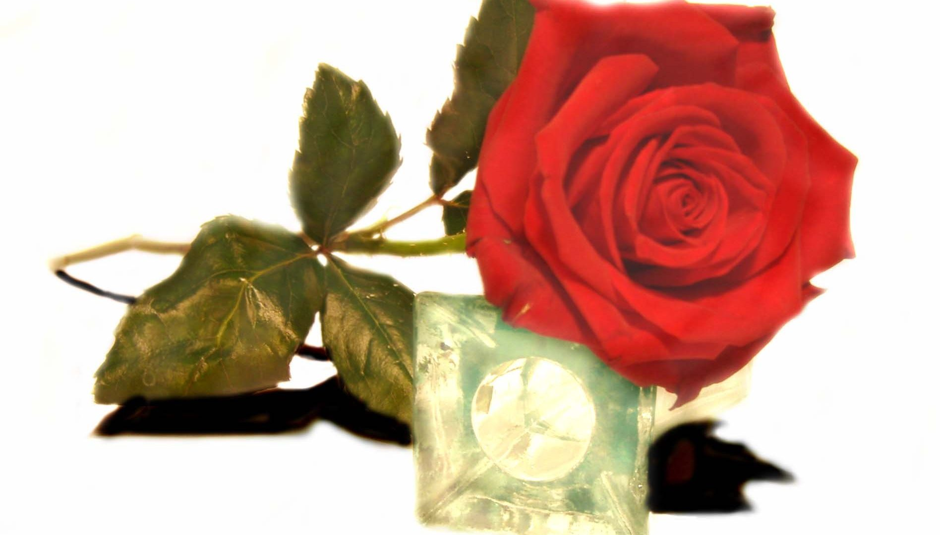 Fresh Love Lovely Single Imaginary Passion Nature Rose