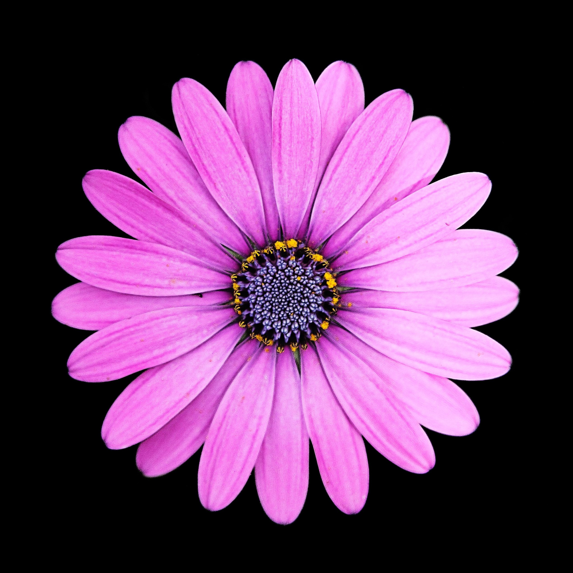 Wallpaper Margarita, Daisy, Flower, Purple, Portrait