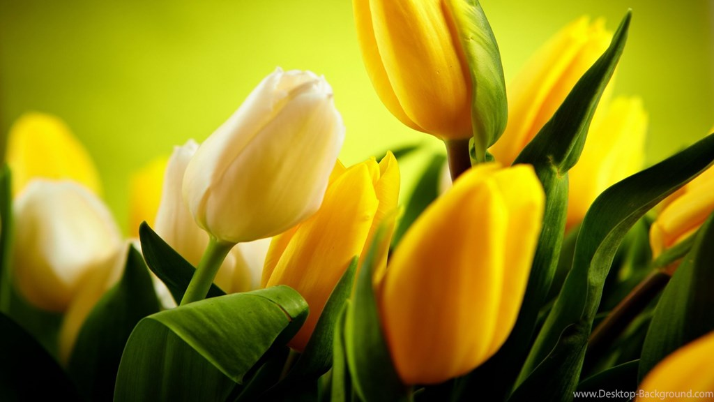 High Resolution Beautiful Flower Tulip Desktop Wallpapers - Yellow Tulips Wallpaper Hd , HD Wallpaper & Backgrounds