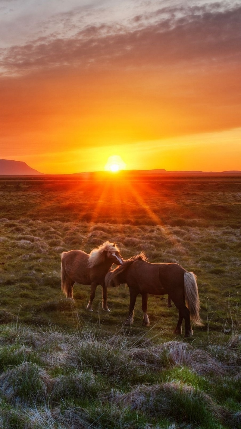 Wallpaper Iceland Landscape Sunset Foals Horses Wild Horse