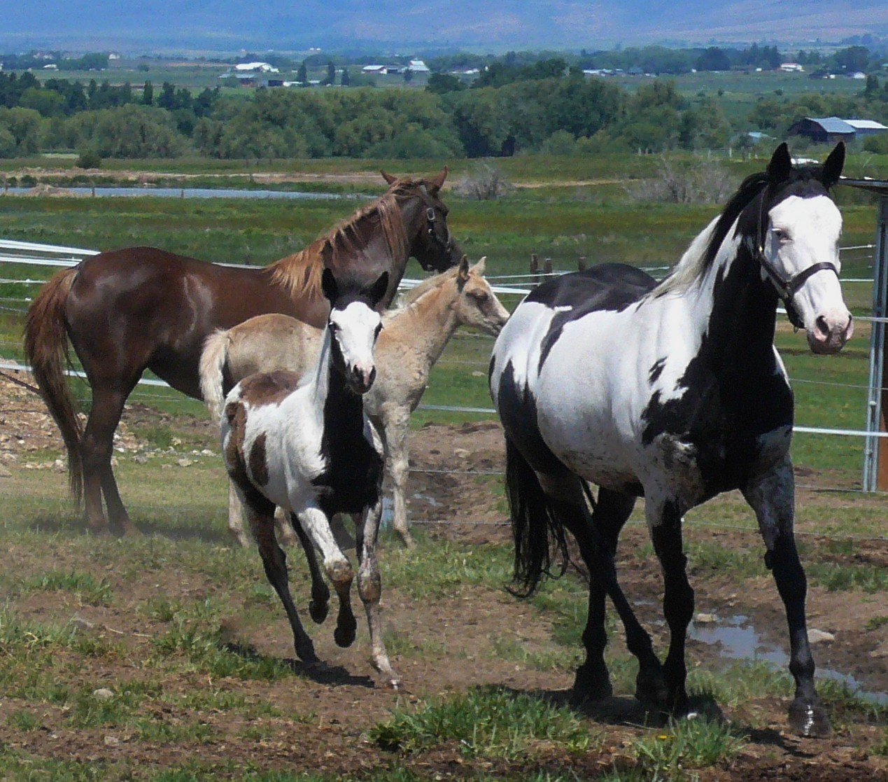 Horses Group Mares Foals Painted Foal Mare American Stallion