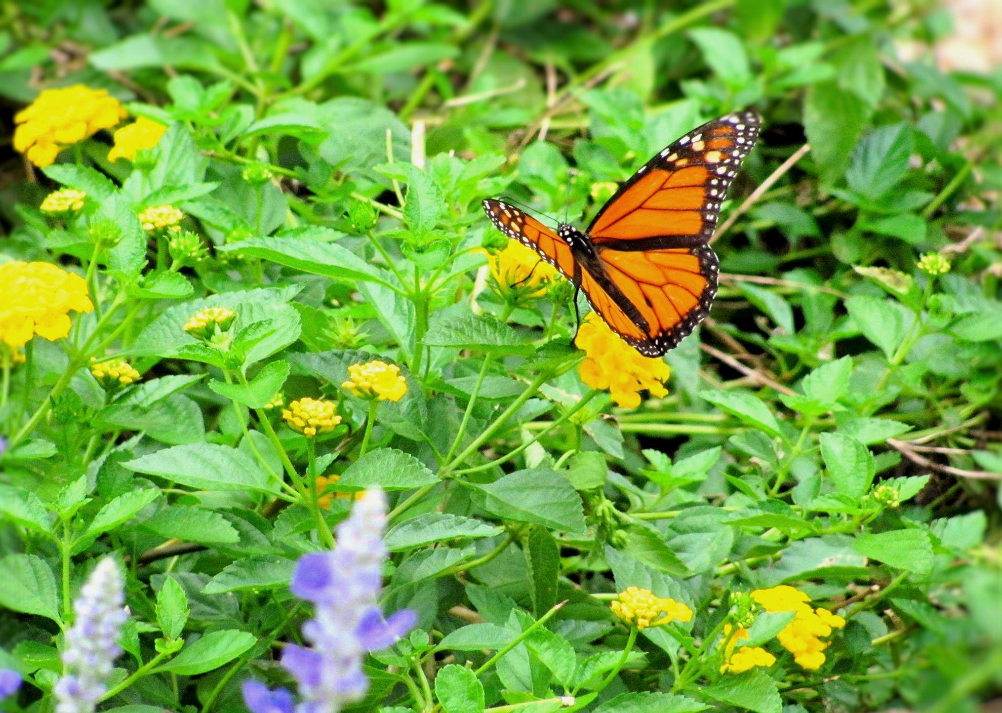 Yellow Butterfly Flowers Garden Bugs Conservatory Wallpaper - Monarch Butterfly , HD Wallpaper & Backgrounds