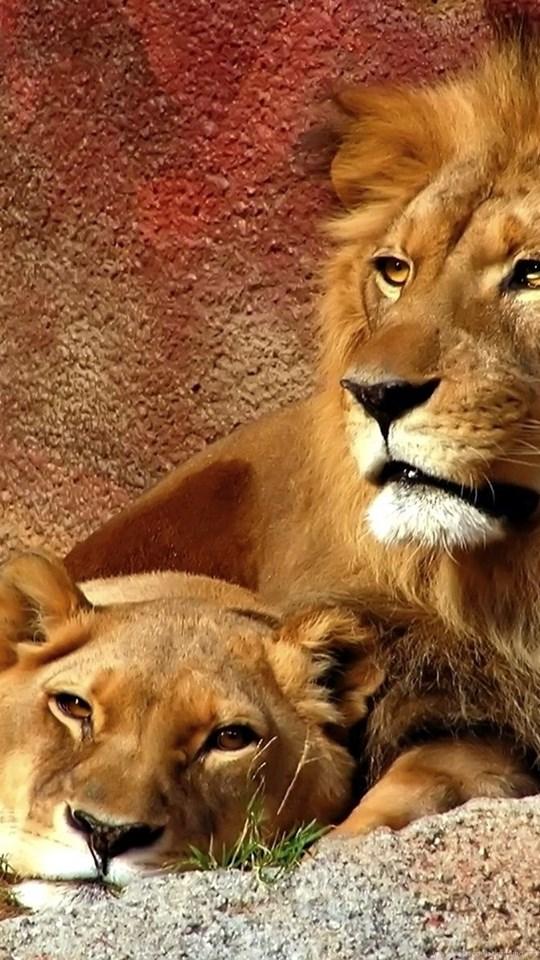 Lion Quotes And Wallpaper Quotesgram Desktop Background - Lion Lioness Facebook Cover , HD Wallpaper & Backgrounds