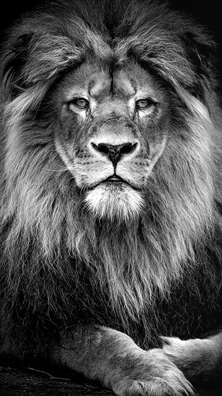 Black Lion Wallpaper Iphone Lion Abstract Wallpapers