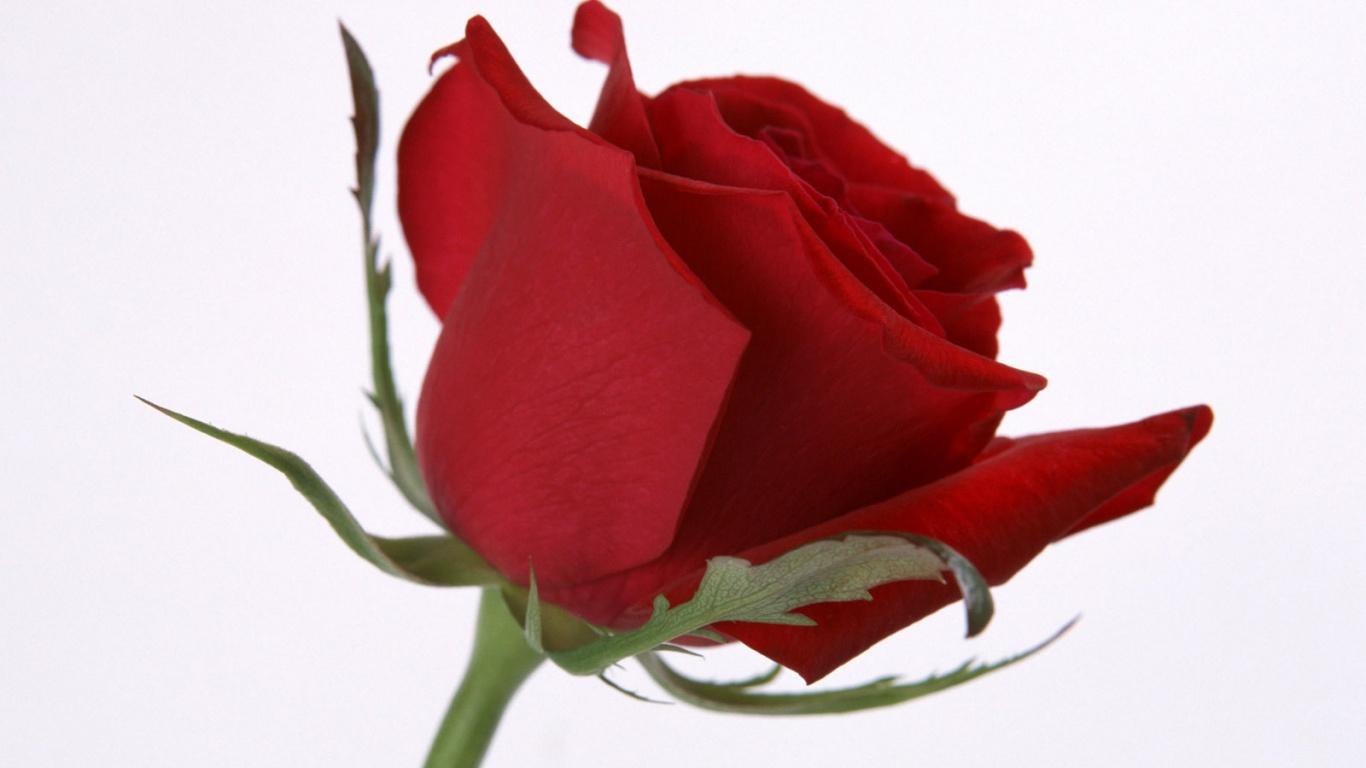 Rose Flower Picture For Desktop , HD Wallpaper & Backgrounds