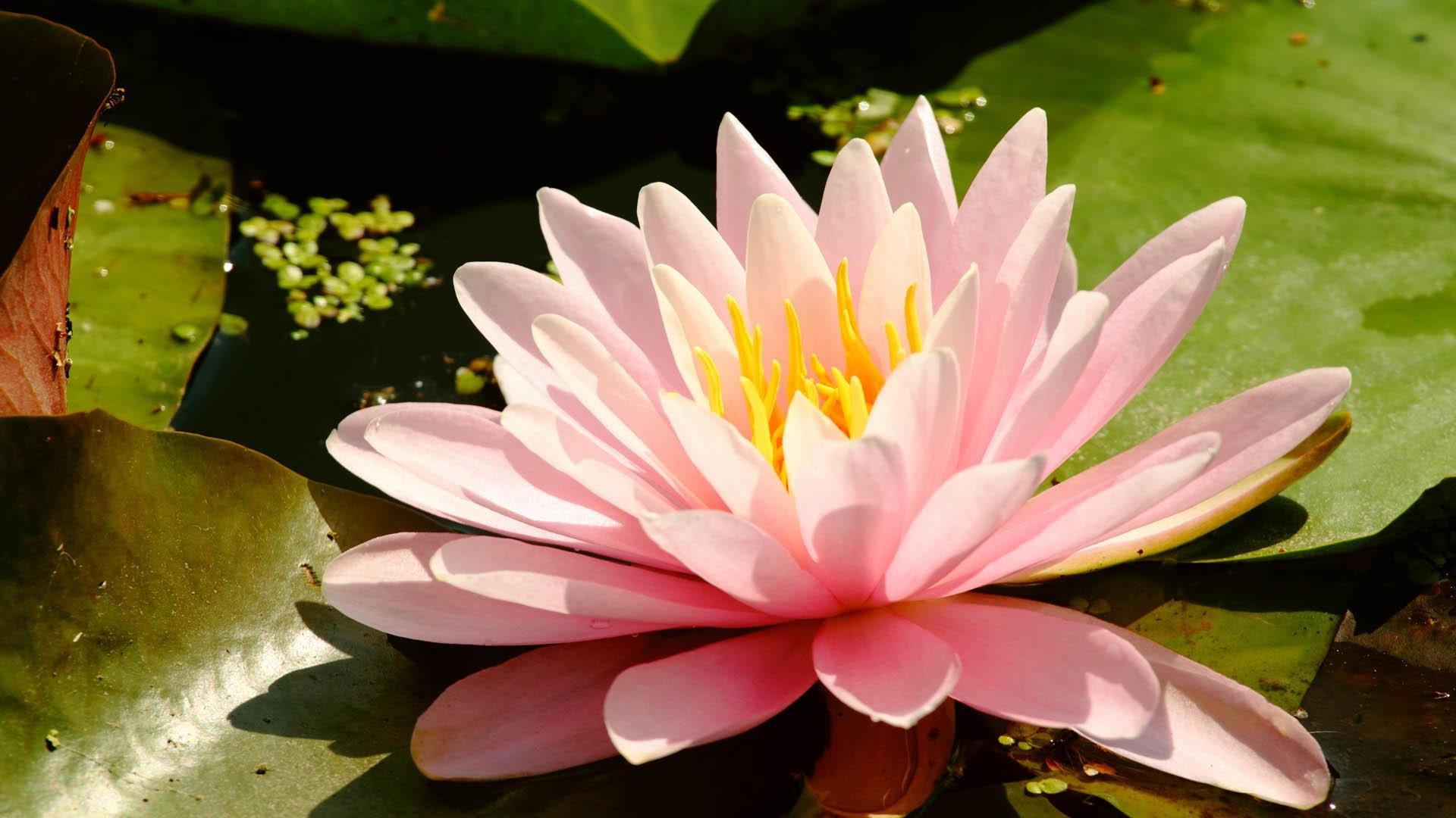 Full Hd Lotus Flower , HD Wallpaper & Backgrounds