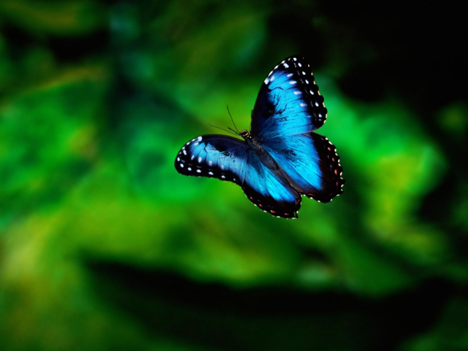 Blue Butterfly Pictures - Real Life Blue Butterfly , HD Wallpaper & Backgrounds