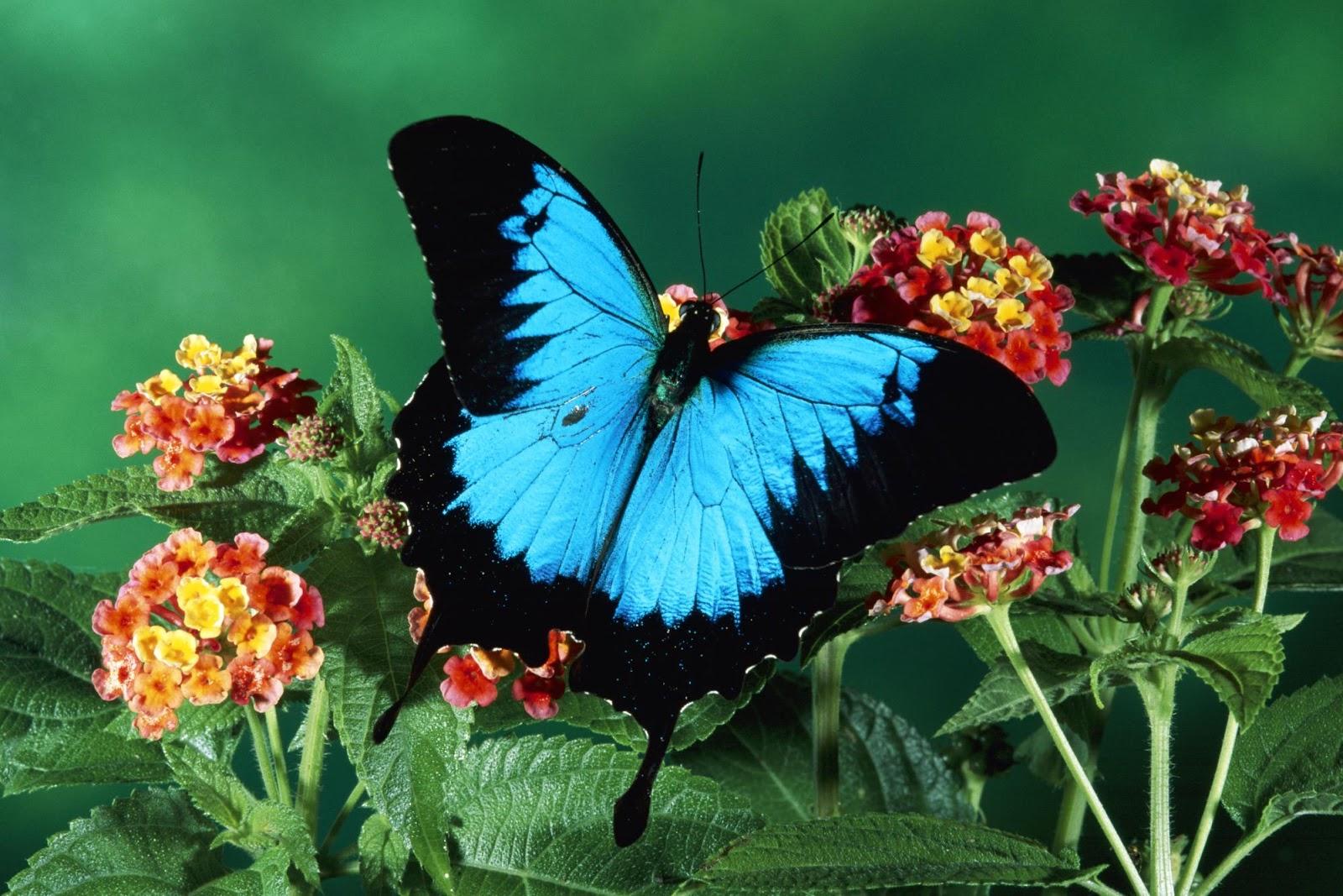 Butterfly Wallpapers - Butterfly Sitting On Flowers , HD Wallpaper & Backgrounds