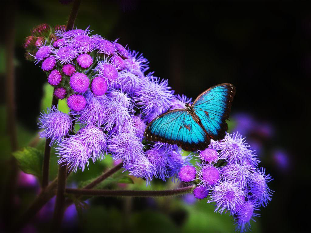 Wallpaper Butterfly - Morpho Butterfly Blue Morpho , HD Wallpaper & Backgrounds