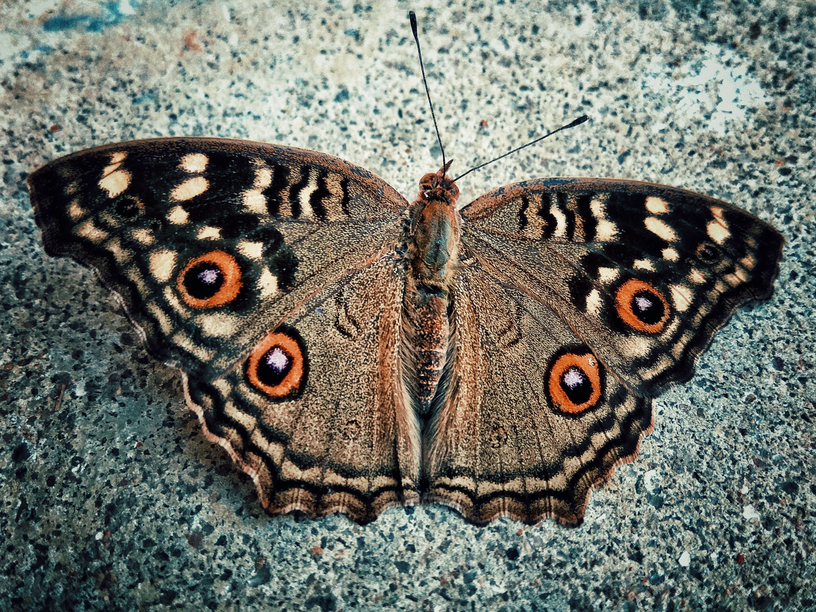 #beautiful #beauty #butterflies #butterfly #capture - Riodinidae , HD Wallpaper & Backgrounds