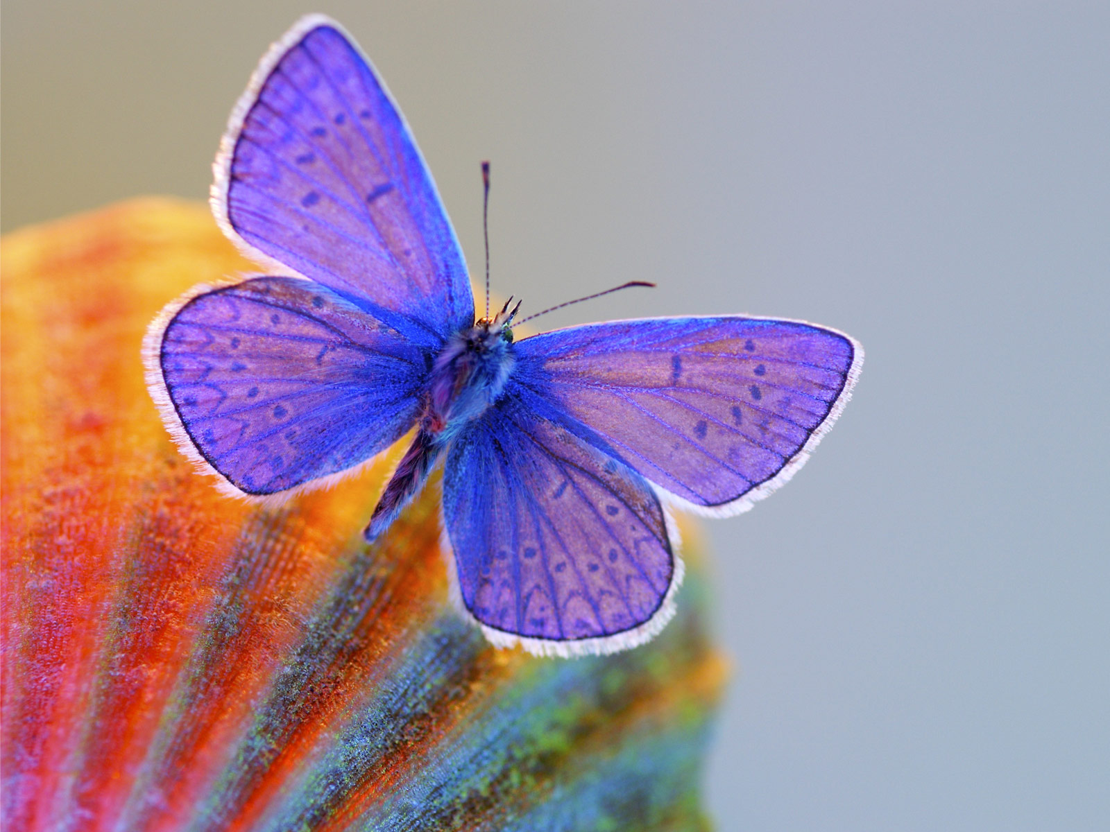 Hd Butterfly Wallpapers - Xerces Blue Butterfly , HD Wallpaper & Backgrounds