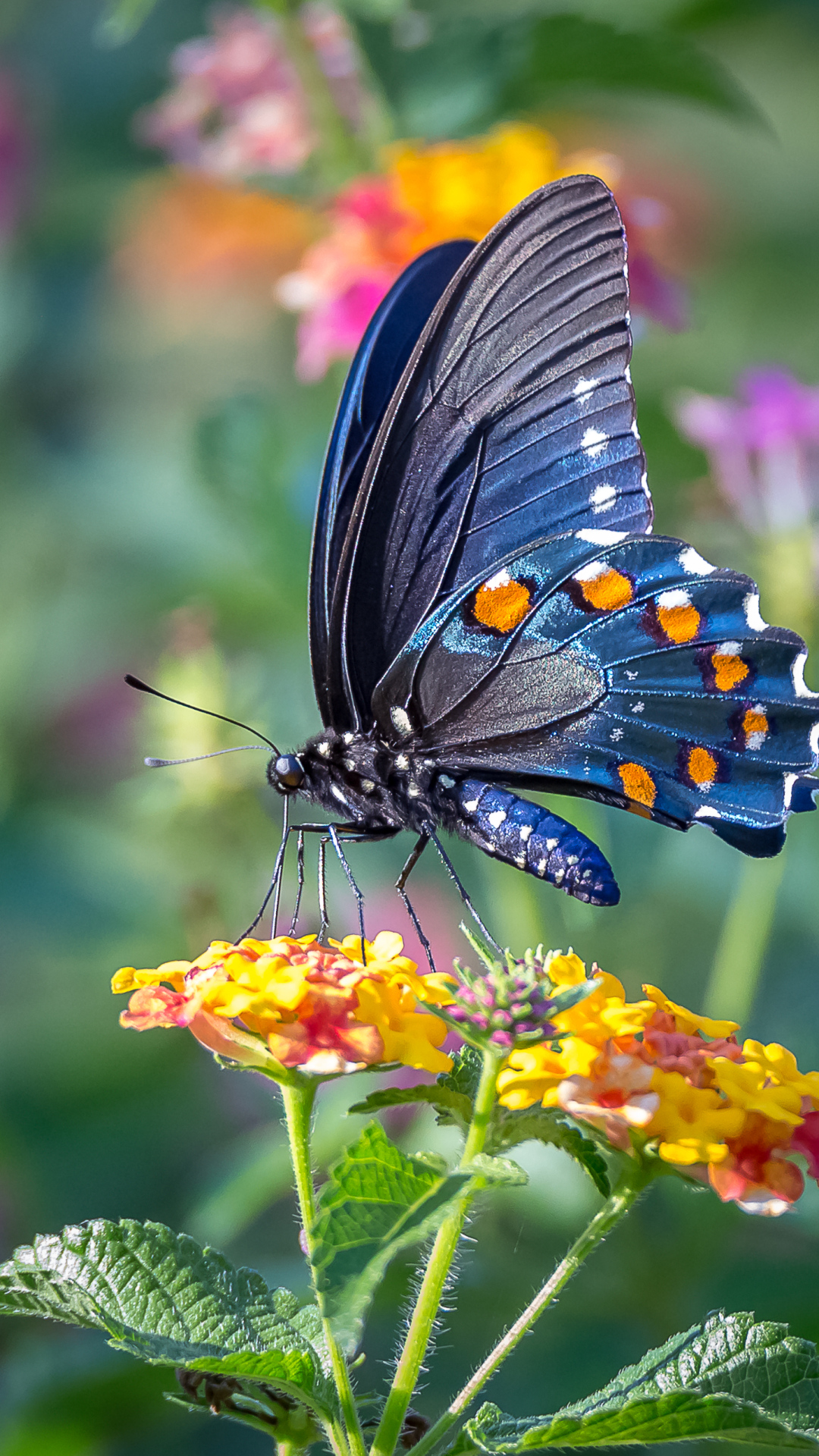 Butterfly Wallpaper For Mobile Phone , HD Wallpaper & Backgrounds