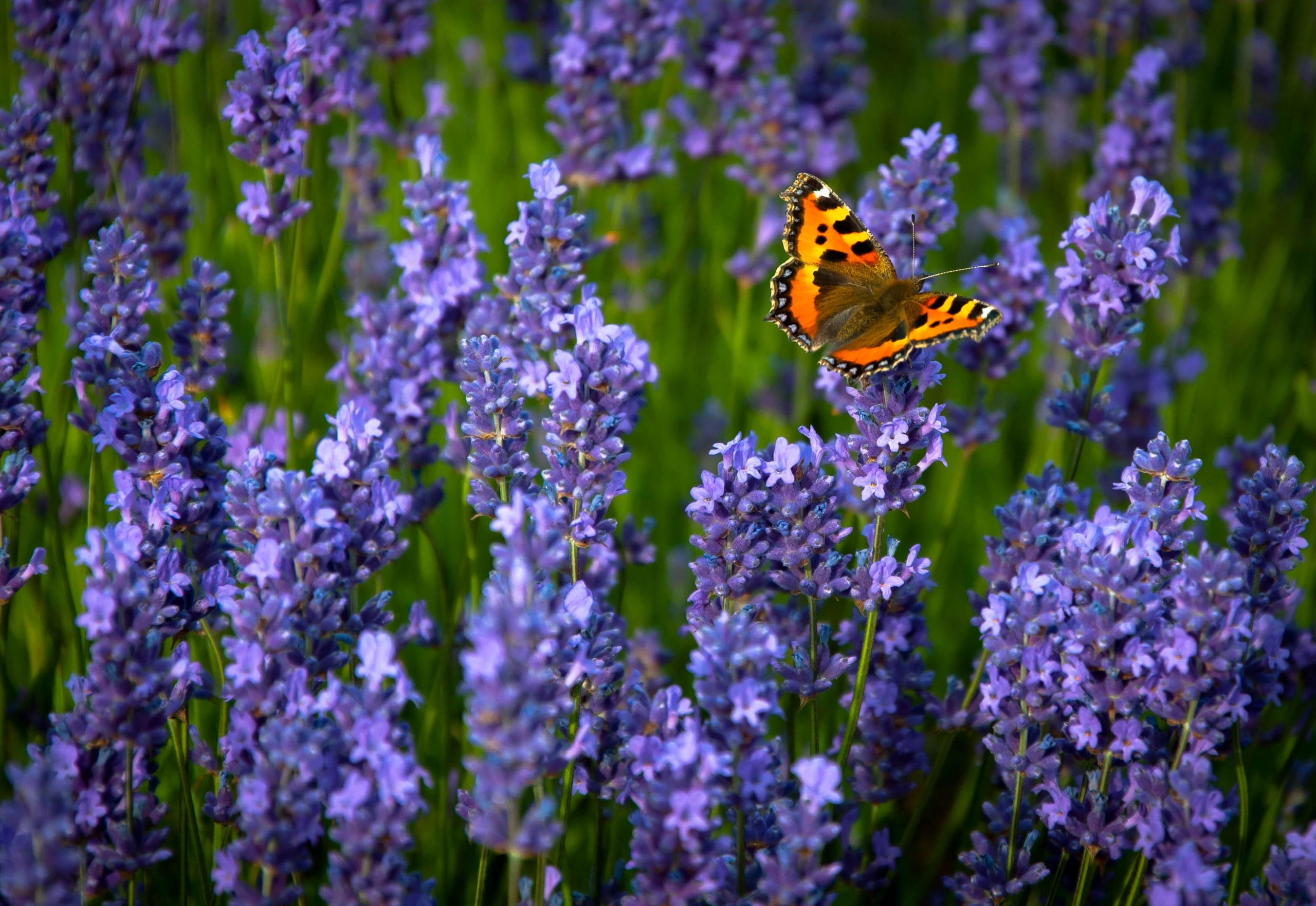 Ordinary, Hives, Lavender, Butterfly Wallpapers Hd - Butterflies In Lavender Fields , HD Wallpaper & Backgrounds
