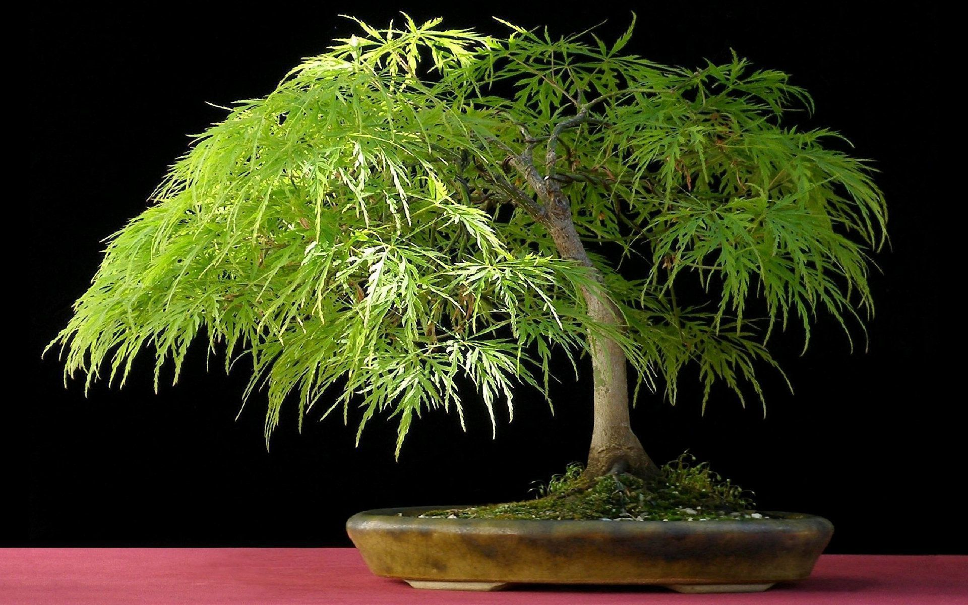 Download Bonsai Wallpaper For Your Desktop Bonsai Tree 995824 Hd Wallpaper Backgrounds Download